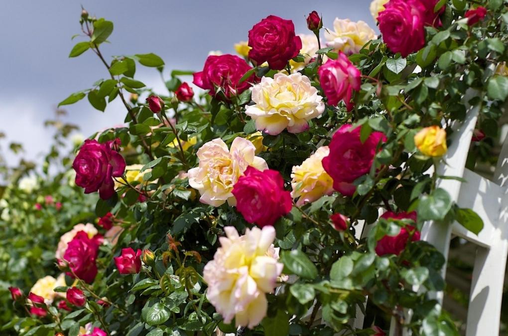 ty też pokochasz róże wielokwiatowe